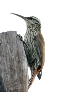 Lepidocolaptes_angustirostris_-Argentina-8