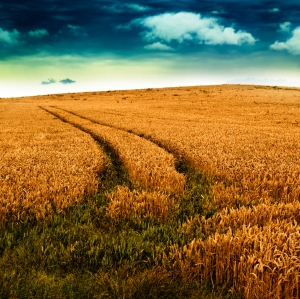 wheat field(large)