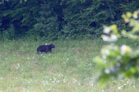 Bear in the morning on the loop in Cades Cove in the Great Smoky Mountains in East Tennessee.